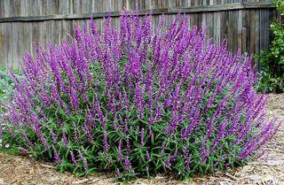 Salvia leucantha santa barbara