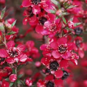 Leptospermum_scoparium_Red_Ensign