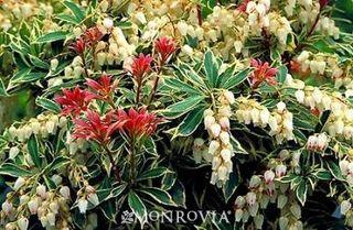 Pieris variegated