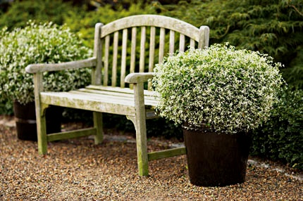 Frost Garden Pots Gardenwright cool plant of the week diamond frost euphorbia diamond frost in pots workwithnaturefo