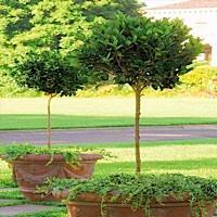 Perfect Prunus Patio Tree (PT) Hawthrone Tree