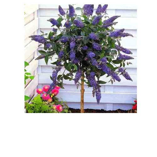 Buddleia_Tree