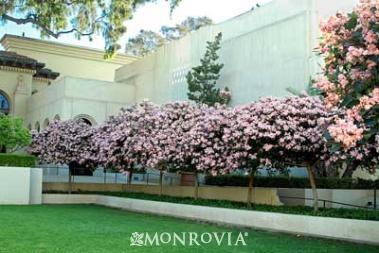 Great Prunus Patio Tree (PT) Hawthrone Tree