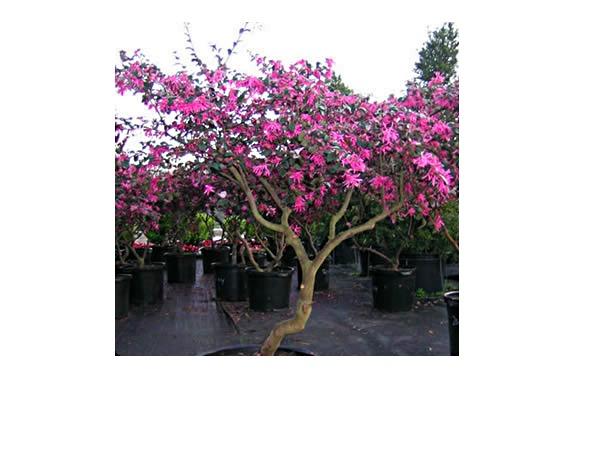 Loro Tree