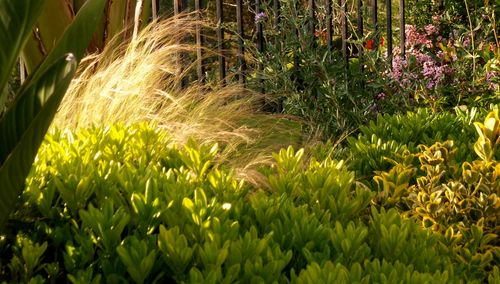 Feather grass in sunlight