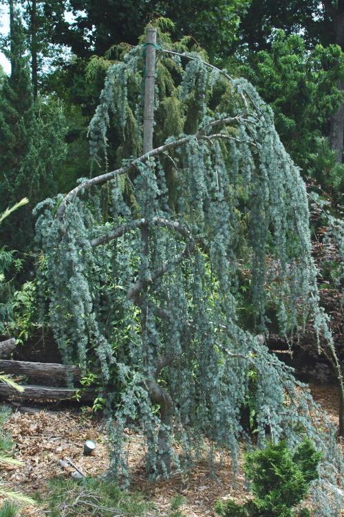 Cedar serp