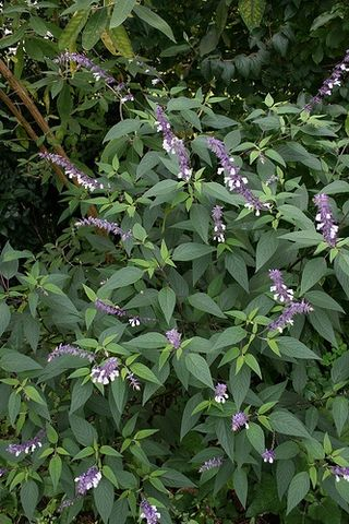 Salvia waverly2