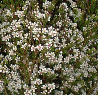 White-wax-flower