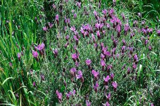 Lavender Quasti