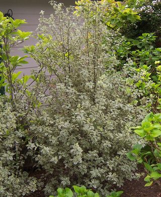 Pittosporum channon