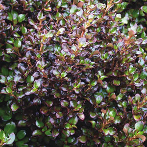 Coprosma_Karo_Red-01